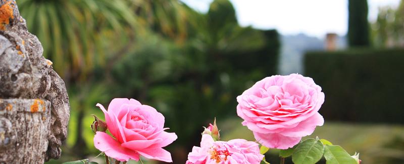 Green Parrot Gardens   Garden Consulting   David Ausin Roses