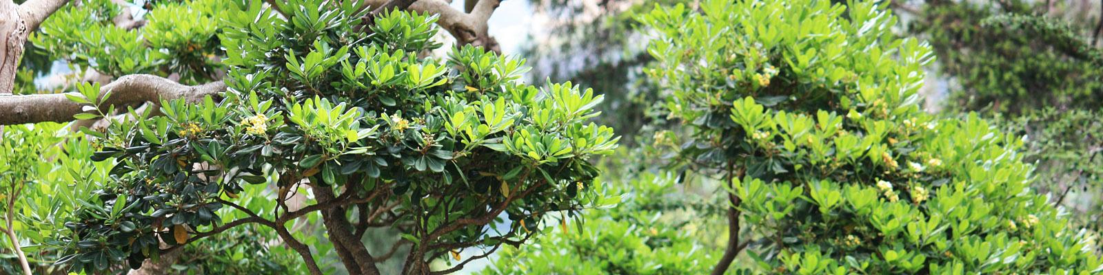 Green Parrot Gardens   Topiary, Cloud Pruning and Garden Bonsais