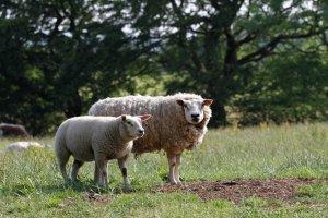 Whole Organic Grass Fed Lamb