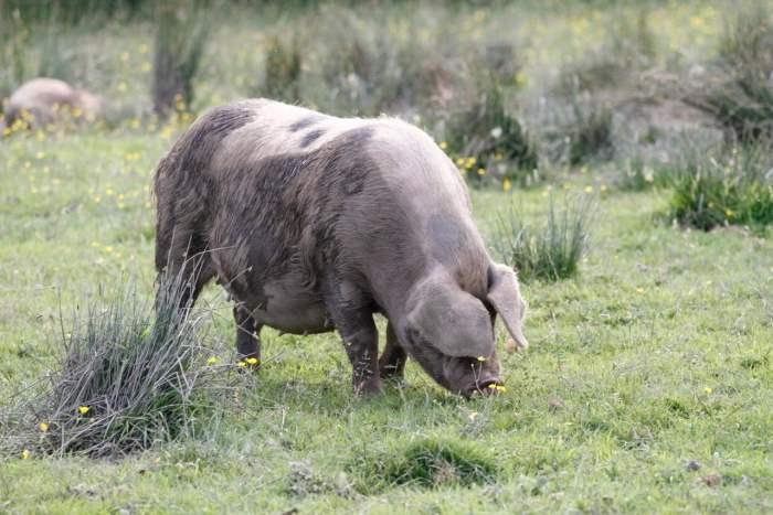 Whole Organic Pig