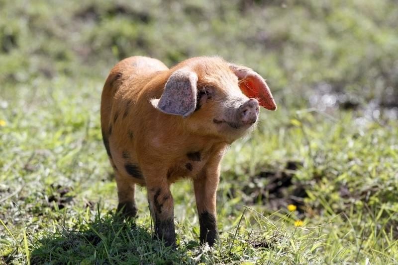 For Happy Piglets Choose Organic British Pork