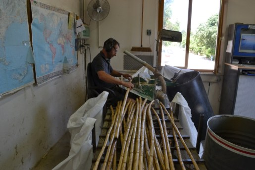 Cane stalks being cut to size at Steuer music reed factory, Carqueiranne, France