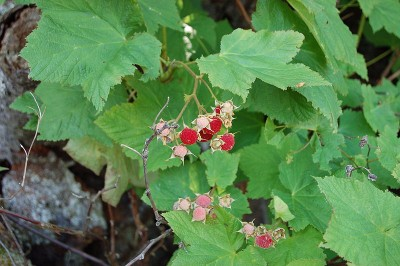 Thimbleberry Leaves and Berries