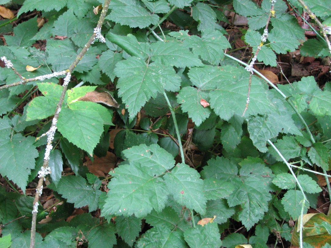 Trailing Blackberry Leaves
