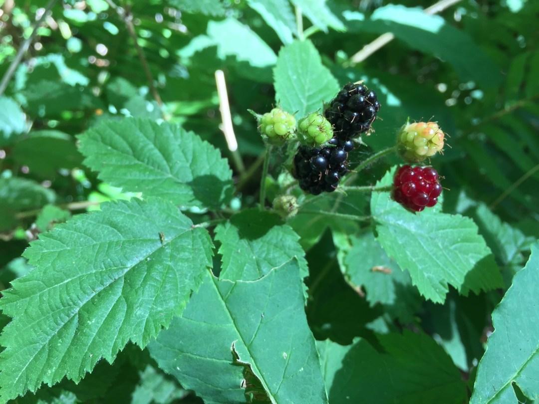 Trailing Blackberry Berry