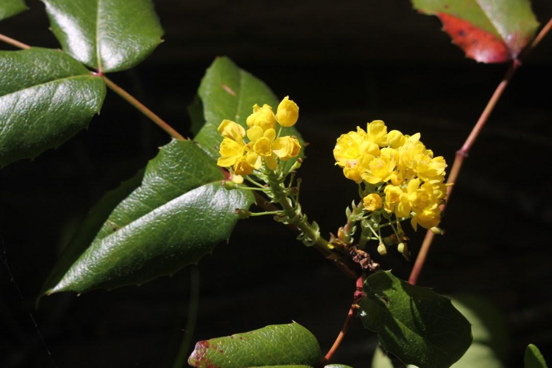 Oregon-Grape Flowers
