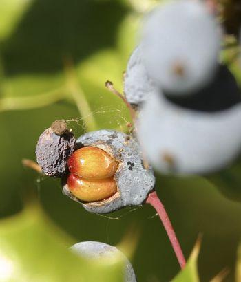 Tall Oregon-Grape Seed_burke