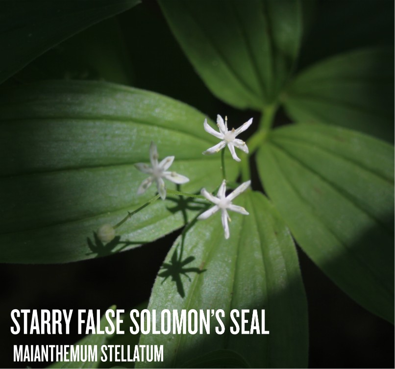 Starry False Solomon's Seal