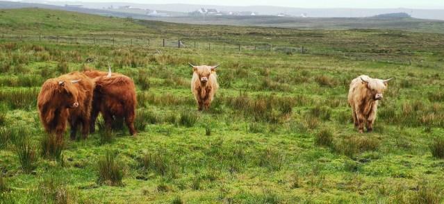 Typisch für die Rinderhaltung in Schottland: Schottische Hochland-Rinder  (Image by macexcalibur from Pixabay.com).