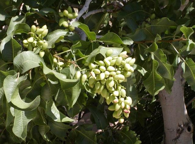 So könnte ein Pistazienbaum mit Früchten auf Ägina aussehen (Photo of ''Pistacia vera'' 'Kerman' (Pistachio) at the Desert Demonstration Garden in Las Vegas, taken May 2003 by User:Stan Shebs).
