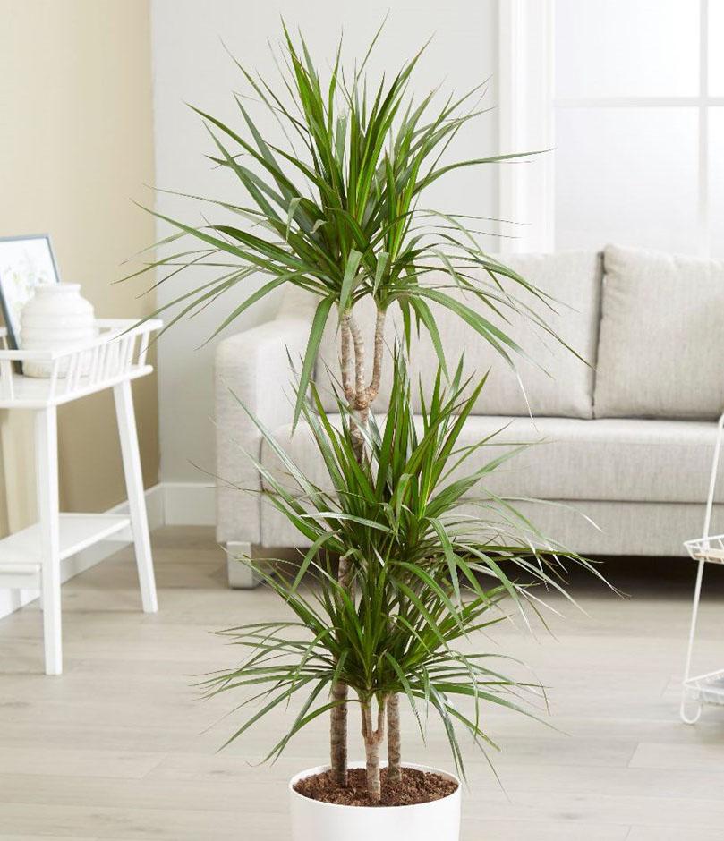 Dracaena Marginata L Buy Indoor Plants Online In Dubai Green Souq Uae