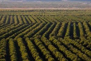 Green Valley Pecan Farm Above Rows 2008