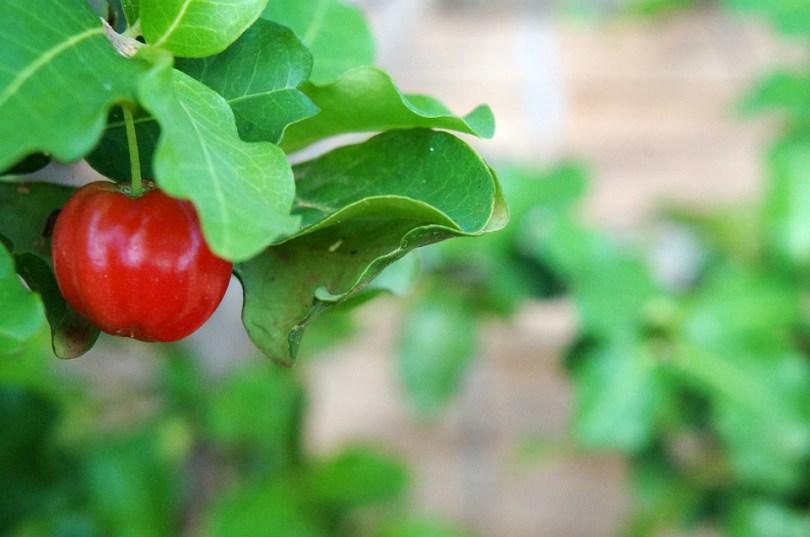 Acerola riche en vitamines