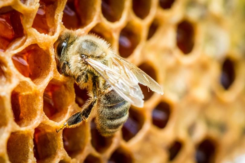 une abeille stocke du miel
