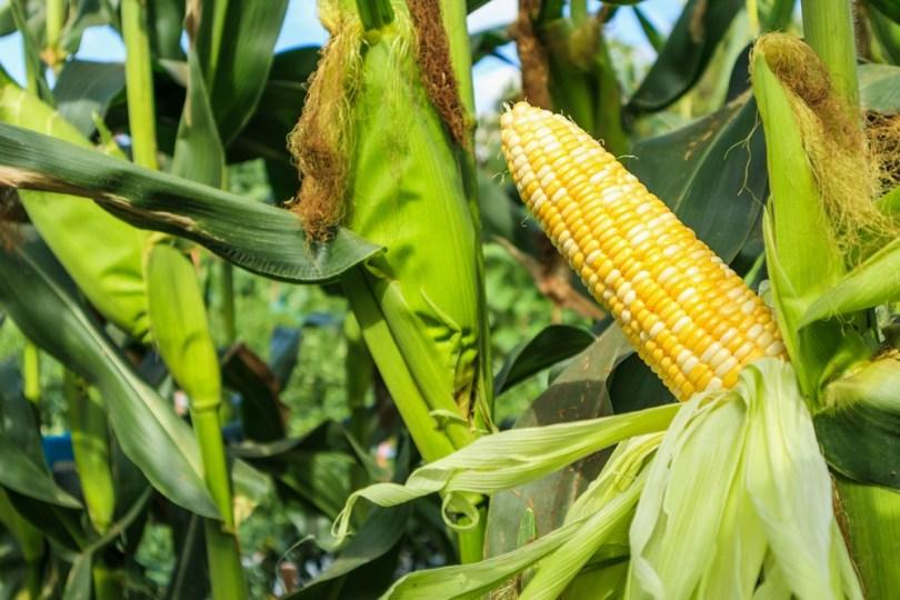 légumes maïs