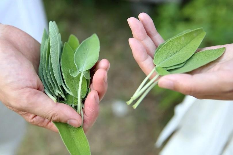 Soulager le Syndrome Prémenstruel avec la sauge et autres plantes