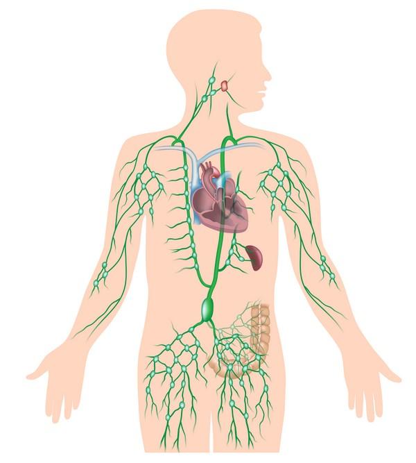 La circulation lymphatique comme cause des jambes lourdes