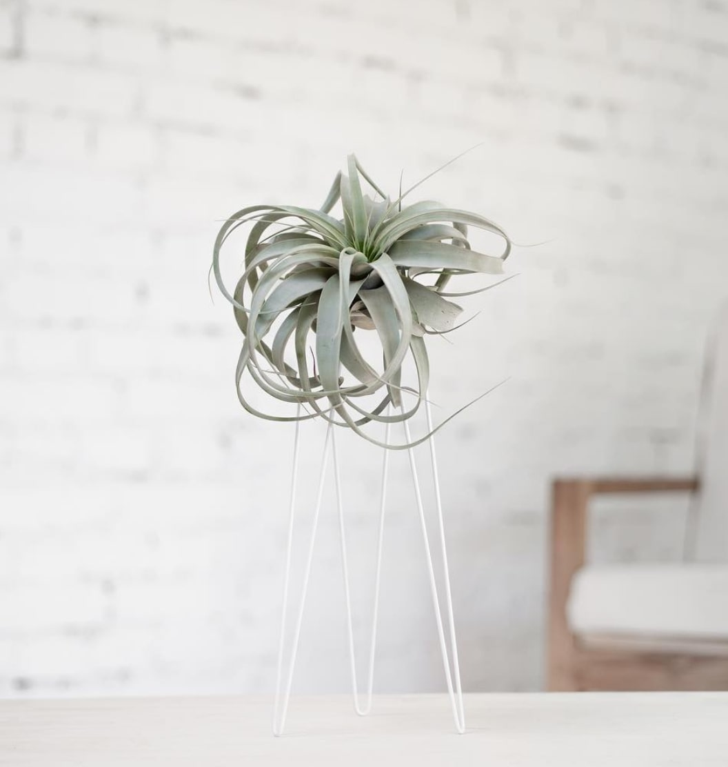 Airplant table-top display from Studio Hali-Ann Tooms