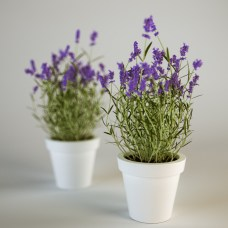 Lavender in small container