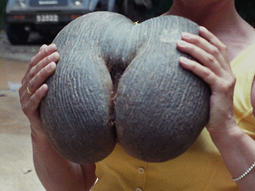 Coco de Mer seeds can weigh up to 40 pounds Photo by Jerzy Strzelecki - The World's Largest Seed - Coco de Mer – Greetings from the Past
