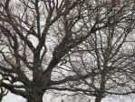 Oak branches in Winter