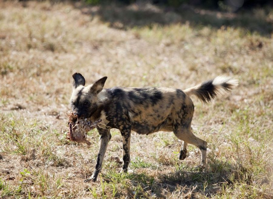 A wild dog eating a chicken, not a fate I would like for my hen