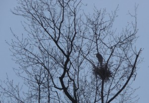 A heron sits on its nest in the top of a tree.