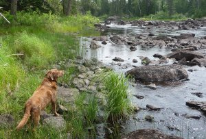 Lexee-dog surveys rapids on the South Kawishiwi River