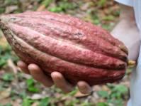 Grenada 2007 cocoa - 12