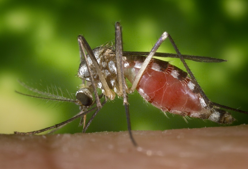 """Ochlerotatus triseriatus mosquito feeding on a human hand. Also known as Aedes triseriatus, and commonly known as the ''treehole mosquito"""", this species been identified as positive for West Nile virus. Photo by James Gathany, Centers for Disease Control"""
