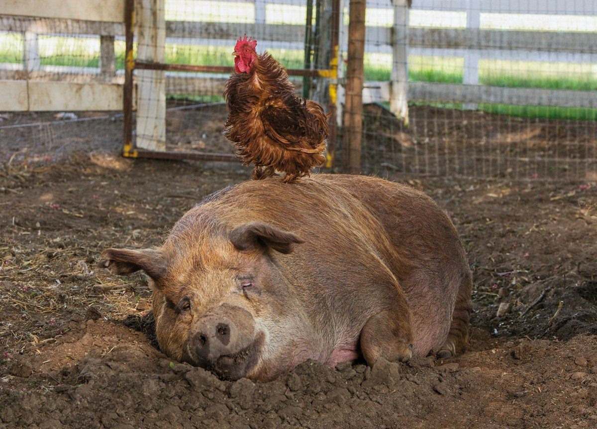 Emma, the pig, and Mr. Greasy, the rooster, are frequent scene-stealers in The Biggest Little Farm, showing just what's possible with a little inter-species understanding; NEON.