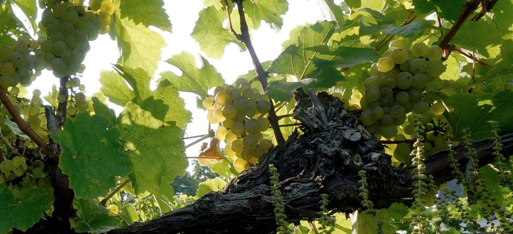 Keuka Lake Vineyards got its start decades ago, when the area's suitability as an important wine region was first being explored; photo courtesy Keuka Lake Vineyards.