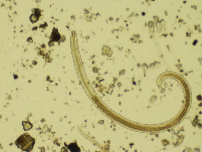 Photo of a predatory nematode