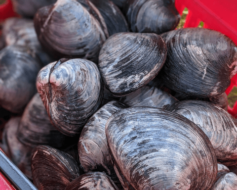 Photo of quahogs, hard-shell clams in a basket.