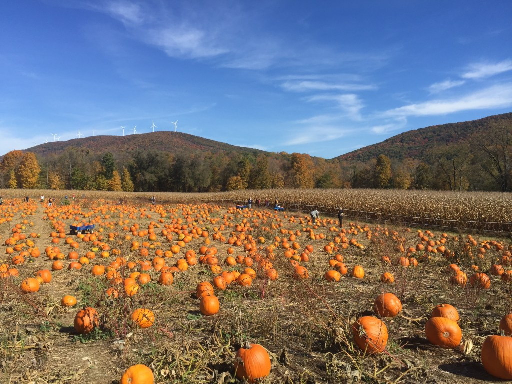 Berkshires pumpkin patch in Hanover, MA