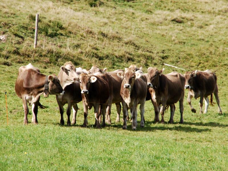 Kühe beobachten den Almauftrieb