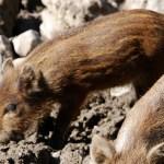 Bei den kleinen Wildschweinen kann man im Herbst gerade noch die Streifen erkennen