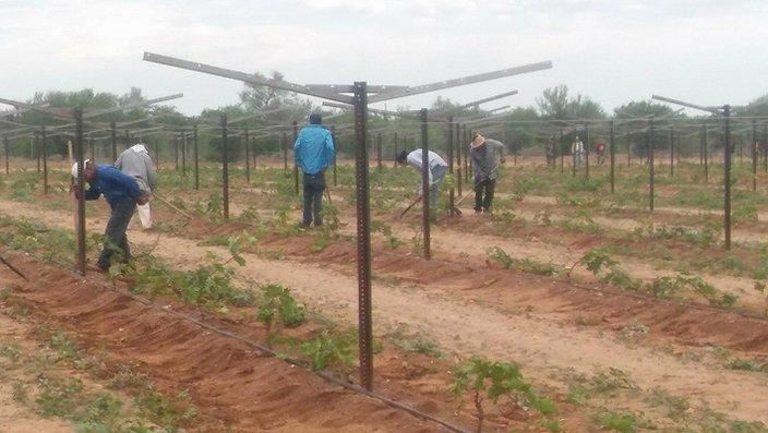 Un 90% de jornaleros agrícolas en la región no tienen Seguro Social (Sonora)