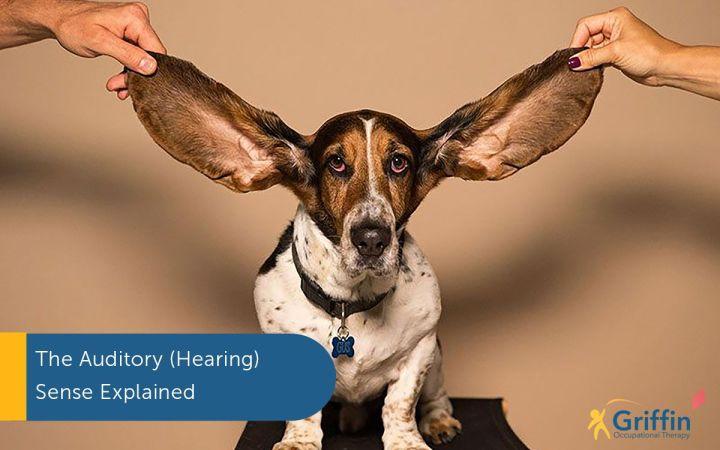 dog listening auditory sense
