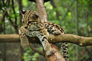Margay Cat Photo relax tree_w600_h399
