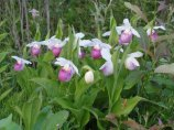 some-beautiful-lady-slippers-blooming-along-the-road-at-grindstone-2