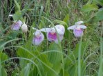 some-beautiful-lady-slippers-blooming-along-the-road-at-grindstone