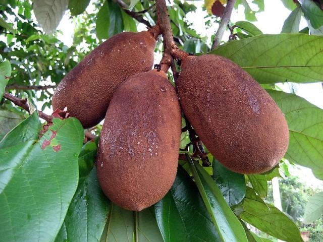 çupuaçu tropikal meyve