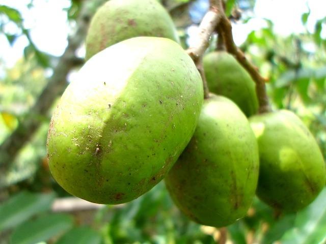 altın elma tropikal meyve