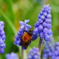 Bloembollen voor vlinders en bijen