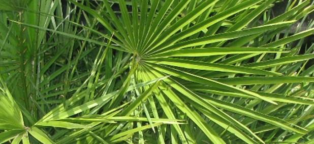 dwarf fan palm