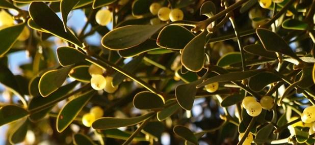 mistletoe berry