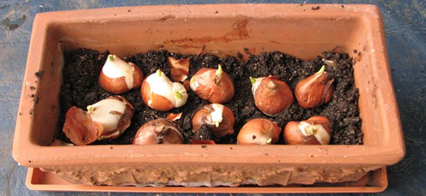potted soil bulbs
