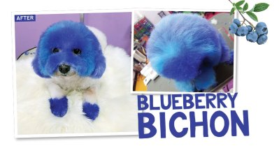 Blueberry Bichon