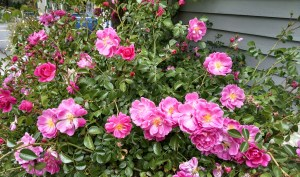 Roses 300x177 Time To Grow Gopher Resistant Plants
